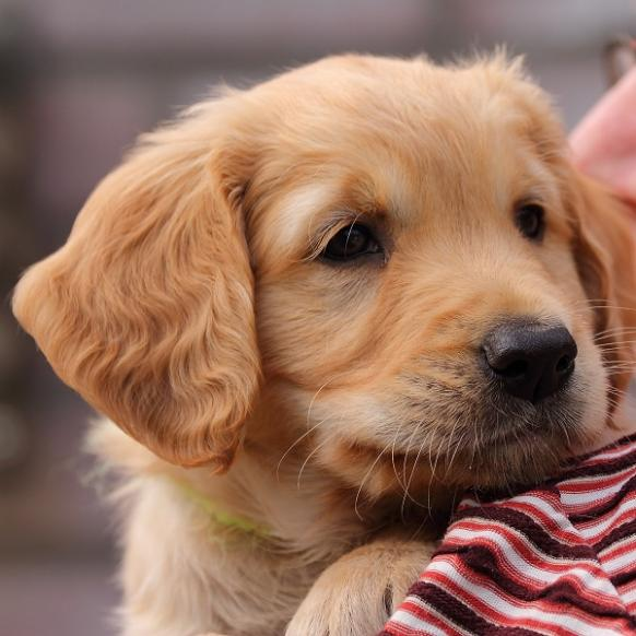 Puppies Worden Groot Of Eager Spirit Golden Retrievers